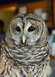 owl10.jpg