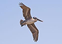 pelican21.jpg