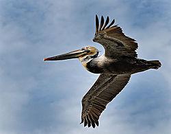 pelican_trial_dsc028111_crop-Edit-2_copy.jpg