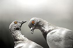 pigeons-bw.jpg