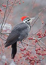 pileated_woodpecker2_f_DSC5594.jpg