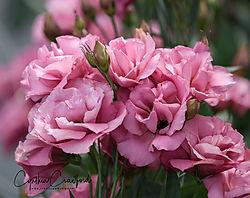 pink_flowers_sig_DSC1860.jpg