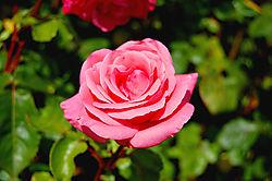 pink_rose1.jpg