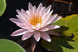 pink_water_lily_1.jpg