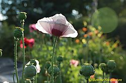 poppies_in_sunshine1.jpg