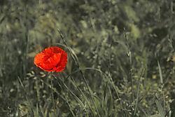 poppy2.jpg