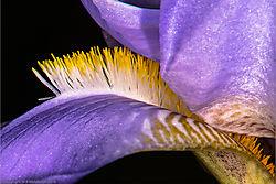 purple_iris_2.jpg