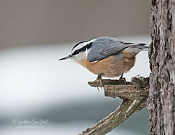 red-breasted_nuthatch_DSC1134_copy.jpg