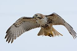 red-tailed_hawk_hovering.jpg