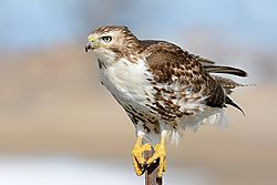 red-tailed_hawk_on_a_steel_post.jpg