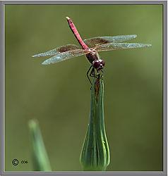 red_dragonfly11.jpg