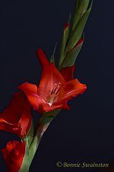 red_gladdies1a.jpg
