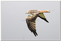 red_kite_012.jpg