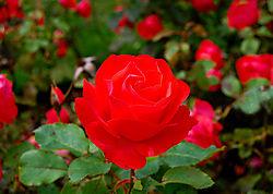 red_rose1.jpg