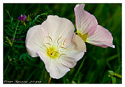 roadside-poppyArgemone-_Prickly-Poppy_--family----Papaveraceae.jpg