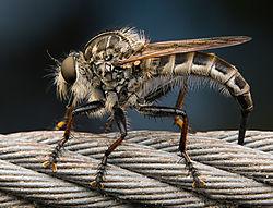 robber-fly.jpg