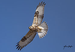 rough-legged_hawk_in_flight_01222021.jpg