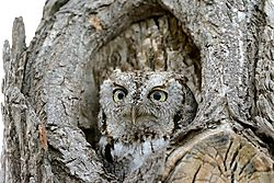 screech_owl_-_popping_up.jpg