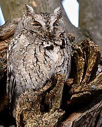 screech_owl_guarding_nest.jpg