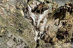 screech_owl_peeks_out_from_crevice.jpg