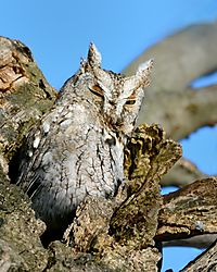 screech_owl_portrait_with_ear_tufts_up.jpg