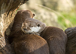 sleepy_otters.jpg