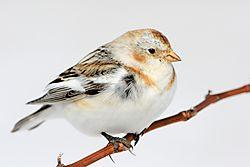 snow_bunting_on_a_vine_closeup.jpg