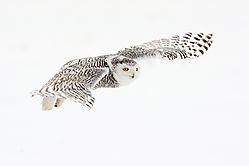 snowy_owl_female_in_flight.jpg
