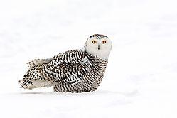 snowy_owl_female_landed_in_snow.jpg