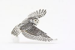 snowy_owl_female_liftoff_from_the_snow.jpg