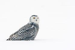 snowy_owl_female_sitting_in_the_snow.jpg