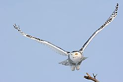 snowy_owl_juvenile_taking_off_from_tree.jpg