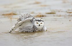 snowy_owl_pops_up_from_bath_to_have_a_look.jpg