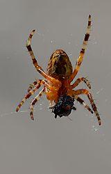 spider_eating.JPG