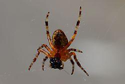 spider_eating_1.JPG