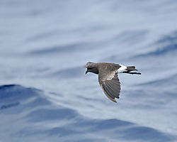 storm_petrel_flight.jpg
