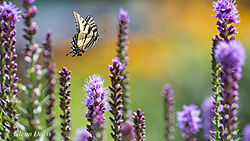 swallowtail_flying_in_liatris-4862.jpg