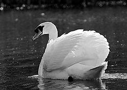swan3225-bw.jpg