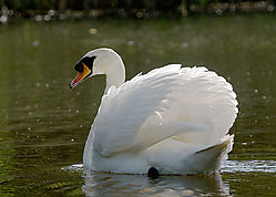 swan3225.jpg