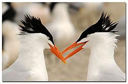 tern_courtship2.jpg