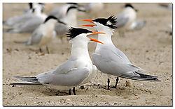 terns_courting.jpg