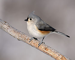 tufted_titmouse.jpg