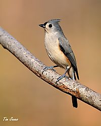tufted_titmouse_web.jpg