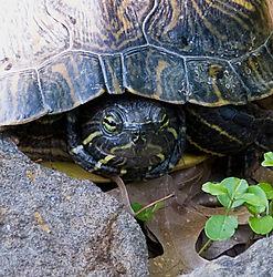 turtle-in-rocks-detail.jpg