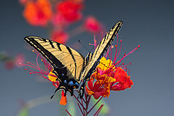 two_tailed_butterfly-2.jpg