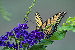 two_tailed_butterfly.jpg