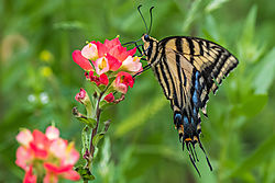 two_tailed_swallowtail.jpg