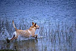 water_dog_.jpg