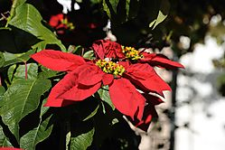 weihnachtsstern_0678k.jpg