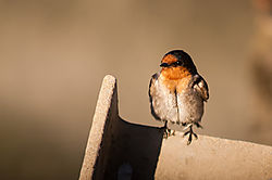 welcome_swallow_0082.jpg